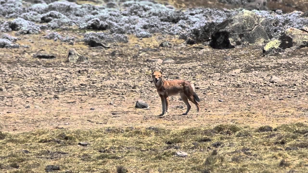 Ethiopian Wolf Sanetti Plateau Bale Mountains Ethiopia Birdingbreaks.nl
