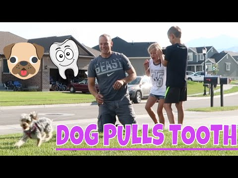 Dog Pulls Out Tooth!!!