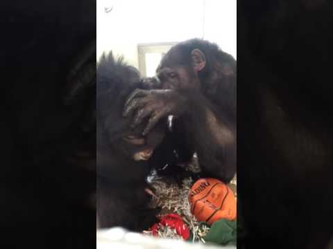 Andres and Butch Grooming - Save the Chimps