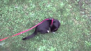 Lucky The Kiwi Kitten Leash Training 1