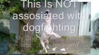Staffordshire X American Bulldog