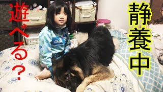 大型犬#ジャーマンシェパード犬、マック君 孫娘梨々香 しつこい風邪で病...
