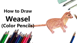 How to Draw a Weasel with Color Pencils [Time Lapse]
