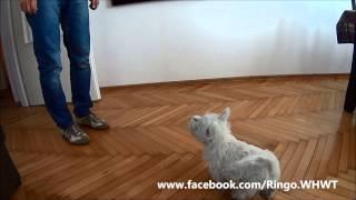 West Highland White Terrier Puppy - Training