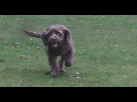 Sussex Spaniel Darcy Dog.
