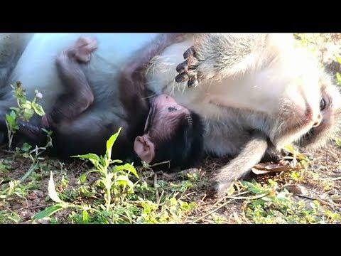Bravo Newborn baby monkey just born one more