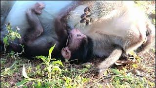 Baixar Bravo!!! Newborn baby monkey just born one more.