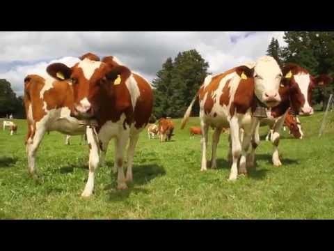 The musical cows of Switzerland