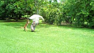 Attack Dog Training Miami ,orlando K9 Enforcement Trainer , Police Dogs
