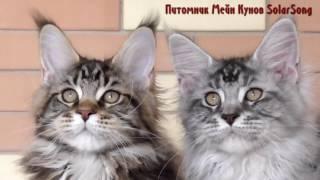 Котята Мейн Кун 5.01.17. 3.5 месяца