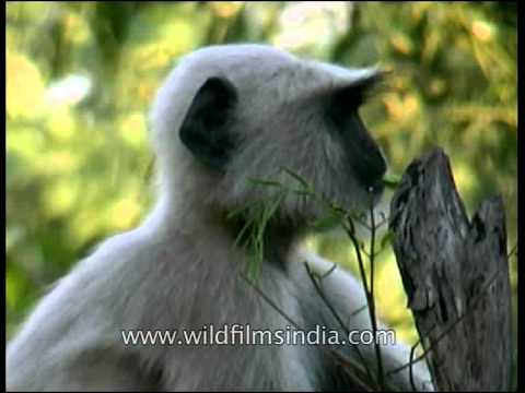 Langur in Panna National Park munching on leaves