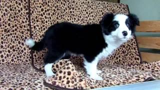 2013年11月22日生まれのオスのボーダーコリーの仔犬です。 撮影日は、2...
