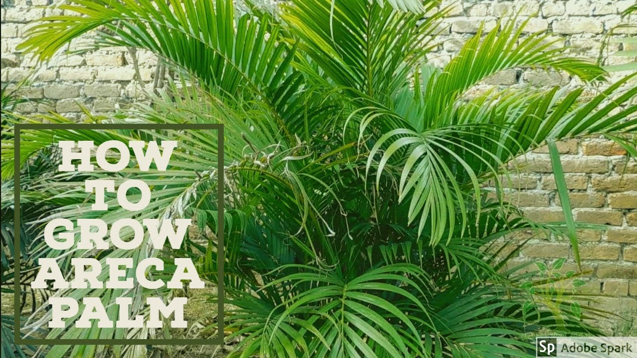 Butterfly Palm Madagascar Palm Areca Palm Chrysalidocarpus How To Grow Areca Palm