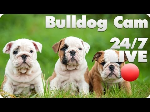 Need a Dose of Sweet? Three Words: Bulldog Puppy Cam