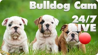 This Live Event Has Ended.     Bulldog Puppy Live Cam