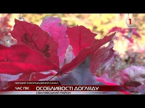 Лісівники Свалявщини розповіли про особливості догляду за лісовими культурами