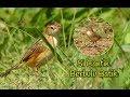 Si Cantik Cici Berbulu Batik Cisticola Juncidis  Mp3 - Mp4 Download