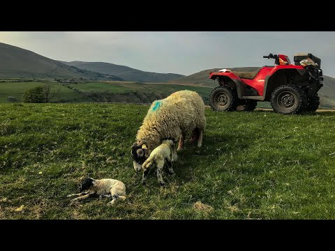 Farming Life S2E16: Lambing Continues 🐏