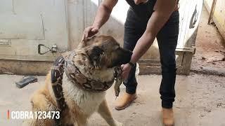 انا والكلب بيل تربينا مع الافاعي والكلب يحب التصور مع الافاعي مع جمال العمواسي