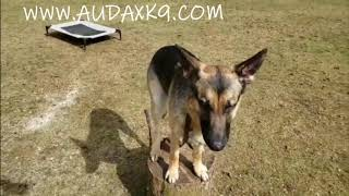 These dogs can recall!  Audax K9 Academy