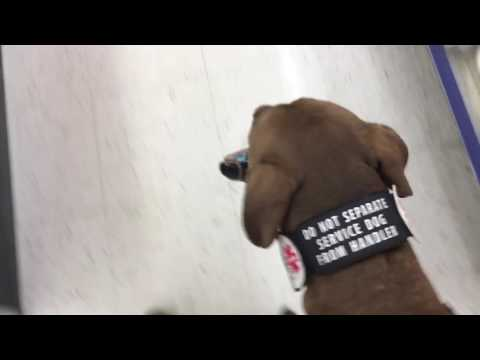 Service Dog carries wallet threw store