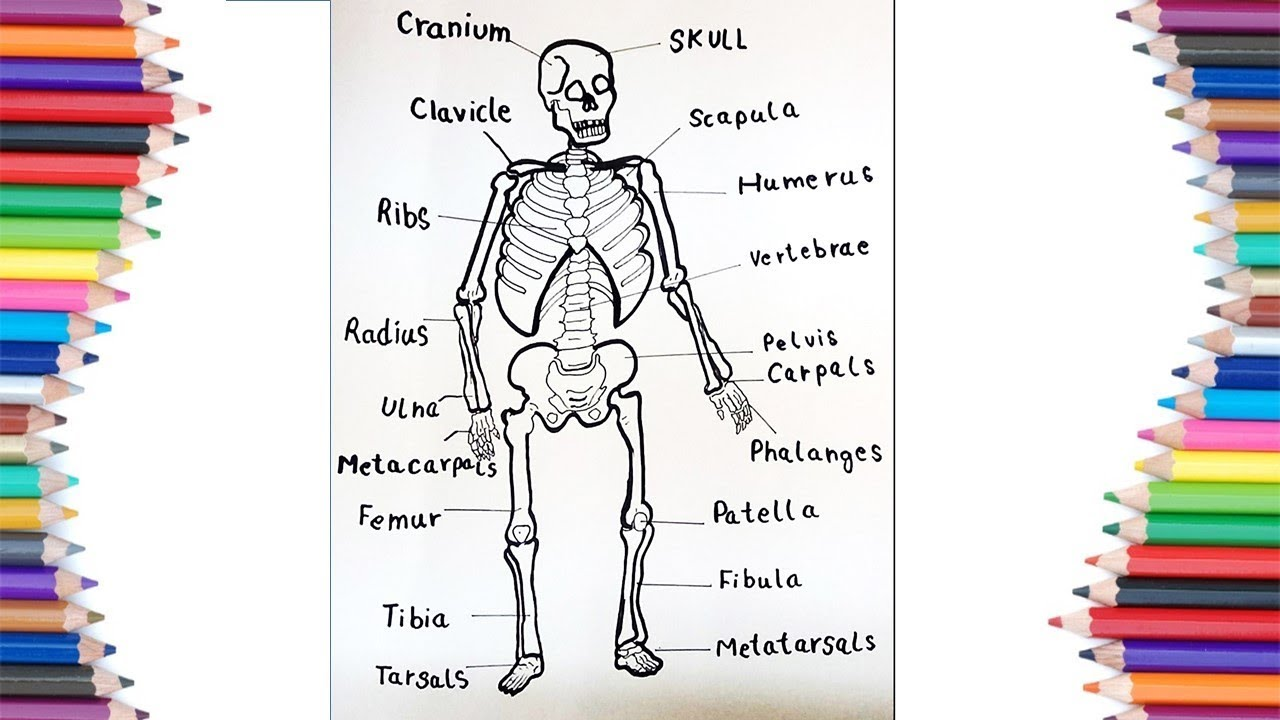 how to draw human skeleton with the names of its parts for kids [ 1280 x 720 Pixel ]