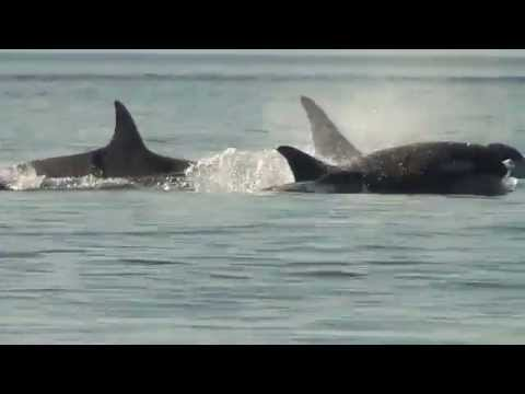 Orcas (Killer Whales) ~ MarineBio Conservation Society
