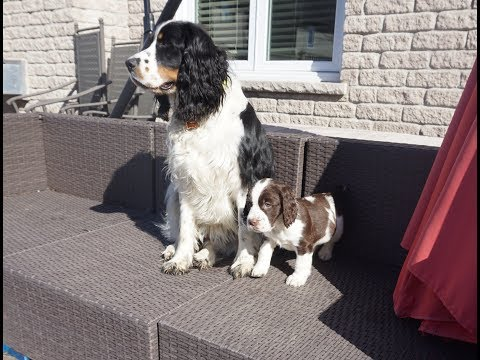 Introducing our new English Springer Spaniel Abigail! .