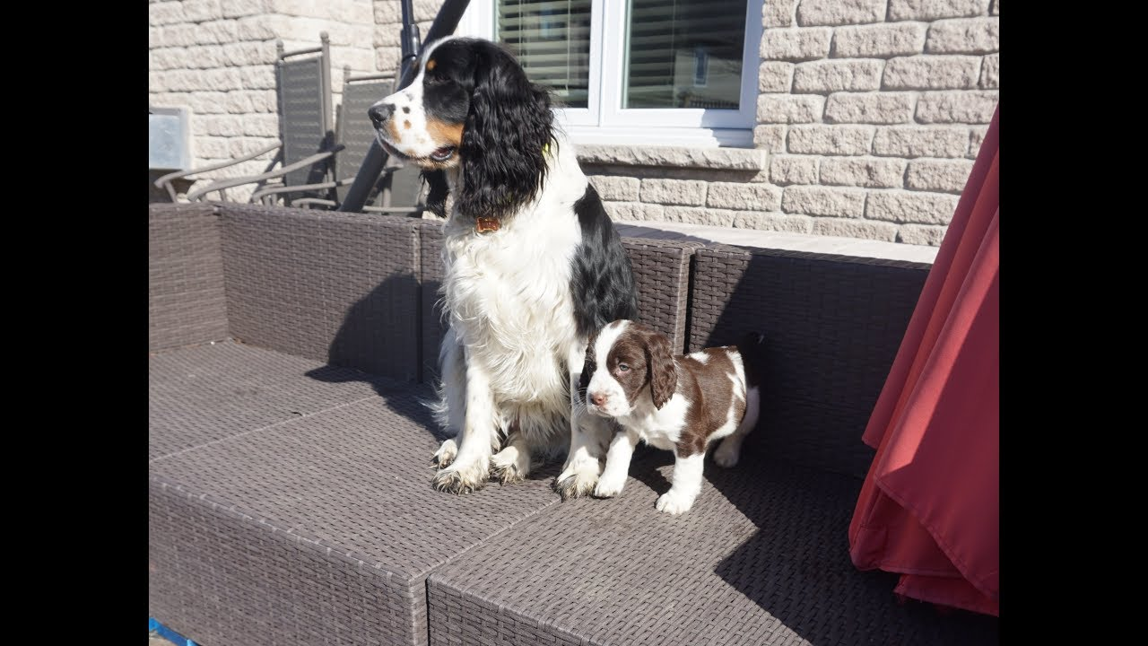 Introducing our new English Springer Spaniel Abigail!