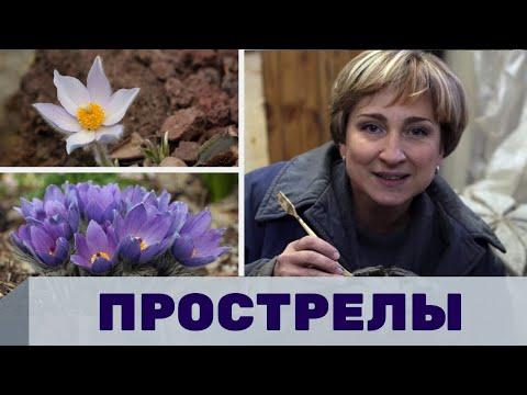 Ольга Бондарева о растениях прострелах, декоративные растения для сада, интервью с садоводом