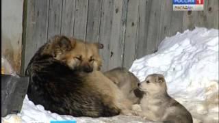 За полгода в Магадане волонтеры «Зооспаса» стерилизовали почти сто бездомных собак