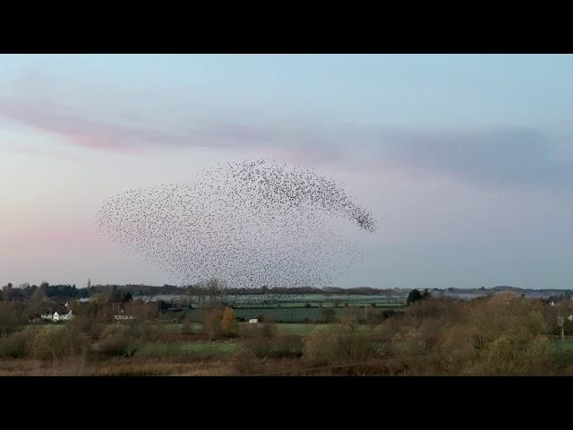 Starling murmuration 3 - Nafford Weir, River Avon - 25 Nov 2020