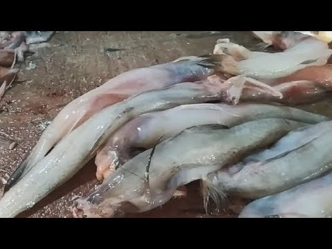 Lotte Macher (Fish) Paturi - Most Delicious Bengali Fish Recipe - Best Indian Village Food from YouTube · Duration:  11 minutes 3 seconds
