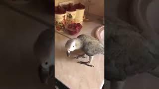 Попугай Жора и кот на кухне