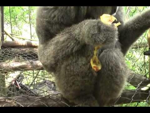 Birth of Javan Gibbon at JGC