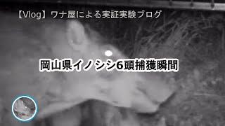 イノシシ親子6頭の捕獲の瞬間です。 設置の夜から子供5頭は入り出しま...