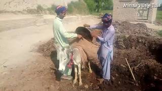 Super Murrah Male Donkey Meeting at Village Morning Time