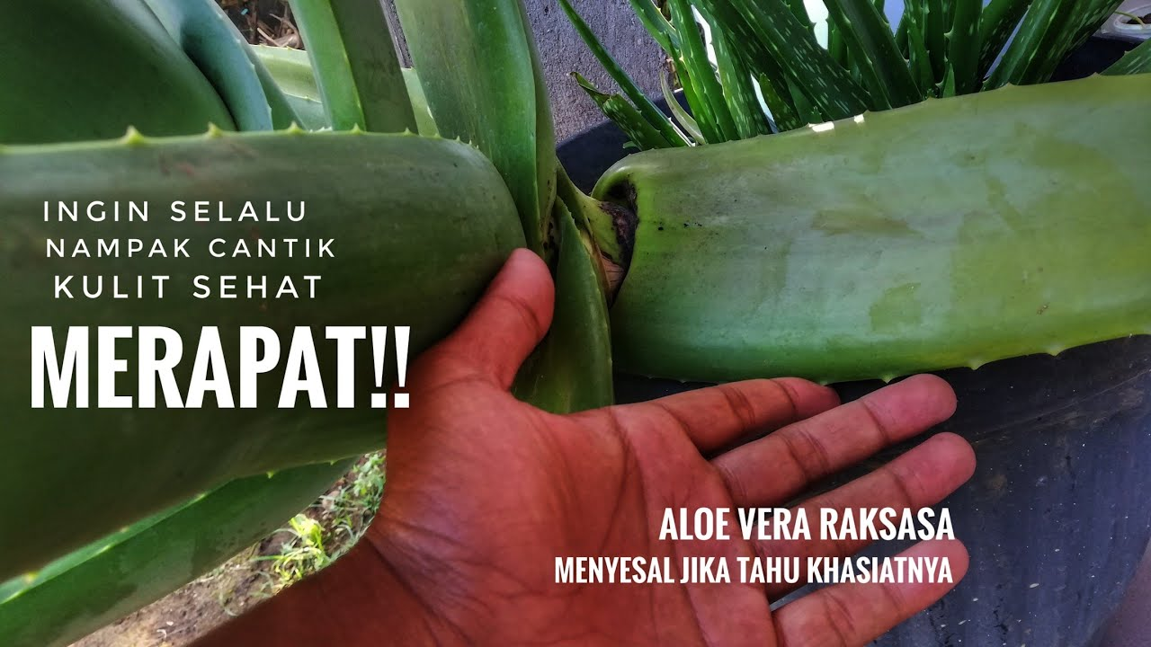 Pentingnya Lidah Buaya (Aloe Vera) Di Dunia Kesehatan dan Kecantikan