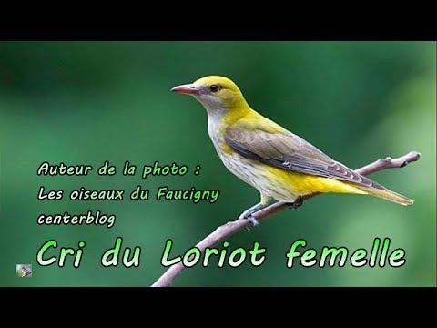 Loriot femelle, cris - Cri d'oiseau - Le mâle crie aussi (et chante)