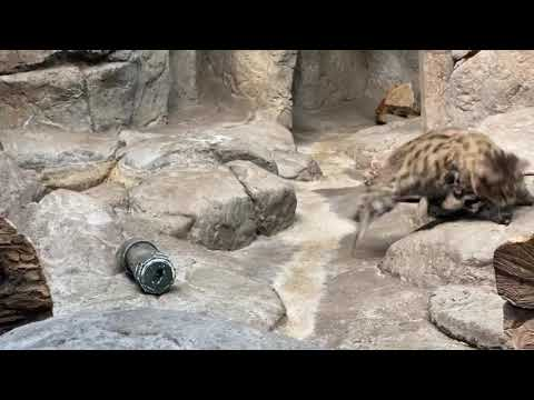 Home Safari – Sand Cat and Black Footed Cat – Cincinnati Zoo