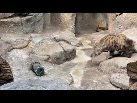 Home Safari – Sand Cat and Black Footed Cat – Cincinnati Zoo