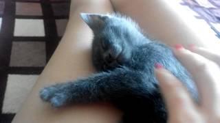 Котенок кайфует во сне, русская голубая порода