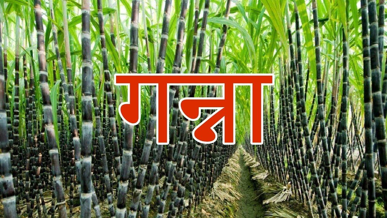 गन्ने के बारे में जानकारी || All about Sugar cane in Hindi