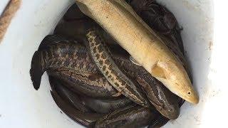 Kích Cá Chuối - Phần 1 - Vô Ruộng Hoang Kích Cá Chuối Khủng Được Gần Đầy Thùng Cá
