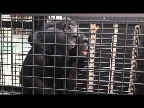 Rescued Lab Chimps Hug and Smile as They Venture Outside for the First Time