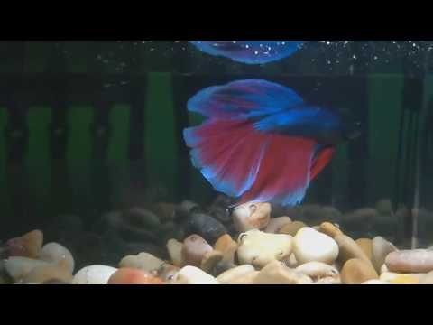 Sick Betta Fish Treatment