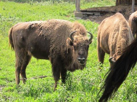 Rezervaţia de zimbri - Haţeg Bison Reservation, Romania