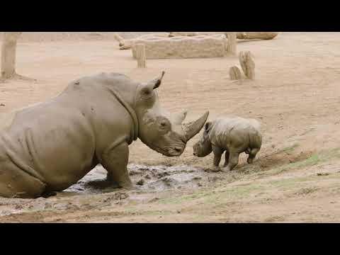"Rhino Racing - Mom & Baby Rhino ""Crash"" Around Safari Park"