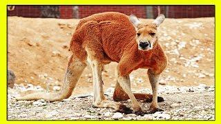 КЕНГУРУ-УДИВИТЕЛЬНЫЕ ФАКТЫ, КОТОРЫЕ ВЫ МОГЛИ НЕ ЗНАТЬ.(Удивительные факты про кенгуру, которые вы могли не знать. Слово