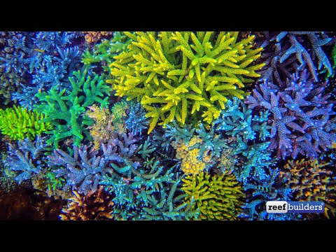The Transformation of Wild Corals to Aquarium Corals by Vincent Chalias, ReefStock 2018